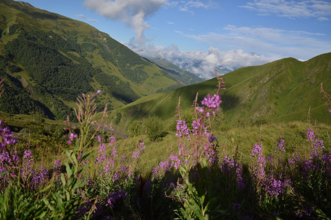 Иван-чай на склонах гор