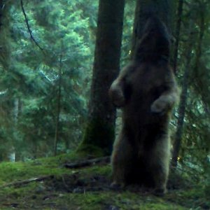 Медведь в Боржомском лесу