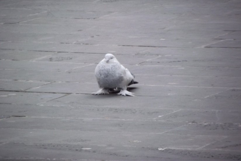 Мохнатые голуби