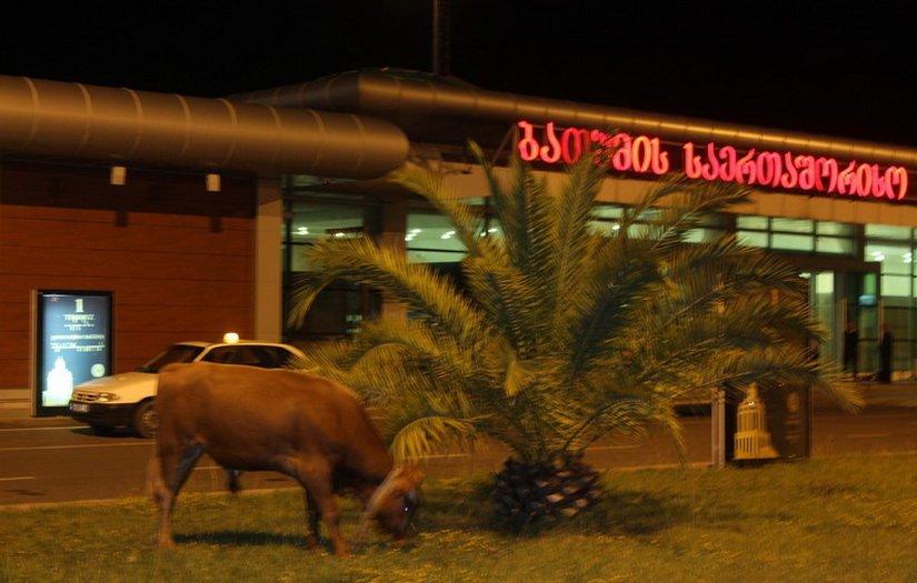 Корова у входа в аэропорт