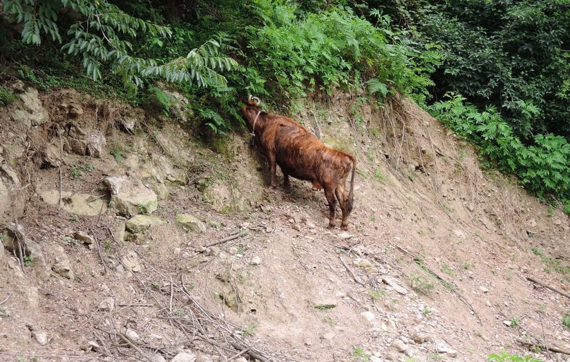 Горная корова